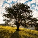 Seperti Pohon Aras