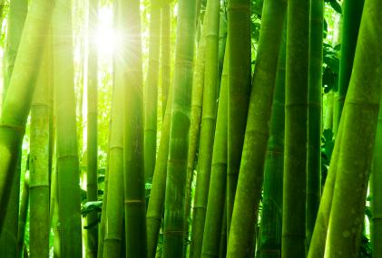 Seperti Pohon Bambu